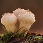 Lycoperdon perlatum by Glynn May