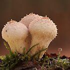 Lycoperdon perlatum by Glynn May