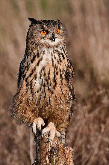 Eagle owl  by Val Saxby