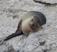 Sea Lion, North Seymour Island, Galapagos by jackmbernstein