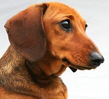 Miniature smooth red dachshund head shot by Joanne Emery