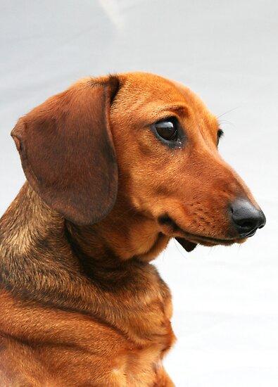 Language  Miniature Dachshund Puppies