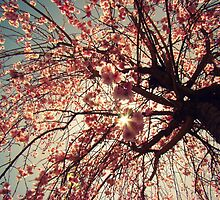 Cherry Blossoms by Rachel  Murray