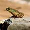 Frog on a Rock - My Backyard Pond by Debbie Pinard