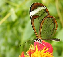 Glasswing butterfly by Joyce Knorz