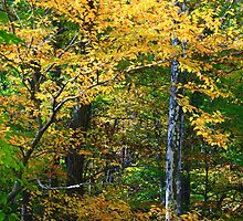 FALL COLOR AND SYCAMORE by Chuck Wickham