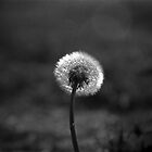 Dandelion in the Sun - Acadia National Park by David Clayton