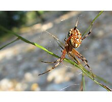 Marbled Orb-weaver Photographic Print