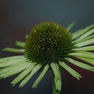 Cone Flower by Betty Maxey
