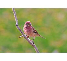 Purple Finch - Male Photographic Print