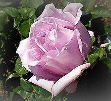 Lilactime Rose - first this Spring, Oct. 2010 by EdsMum