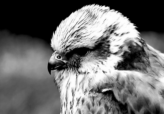 A Saker Falcon in B&W by Trevor Kersley