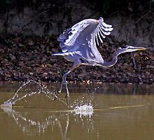 Great Blue Heron is Doing the Hop, Skip & Jump by Chuck Gardner