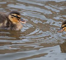 My Brother and Me: Mallard Ducklings by Ann Miller