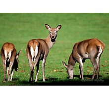 Red Deer Wollaton Park Photographic Print