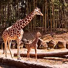 Giraffe Pair by Jay Gross