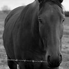 Black Beauty by neil270