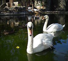 Swans. by Vitta