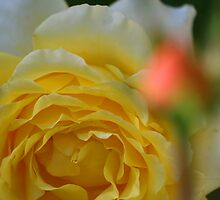 Yellow Rose With Rose Bud In Front  by Terry Aldhizer