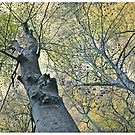 The Beech tree by signore