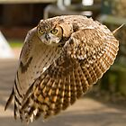 Owl at full stretch looking down the lens by Ian Salter