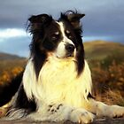 Rob the Border Collie by Michael Haslam