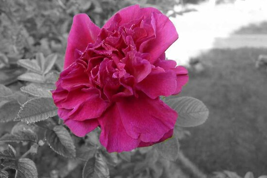 Rose in Selective Color by MaeBelle