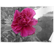 Rose in Selective Color Poster