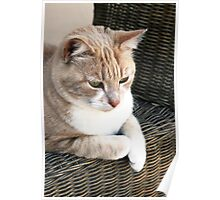 Pale ginger cat sitting on wicker chair Poster