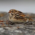 Lapland Longspur by Bill McMullen