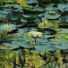 Pond! by vasu