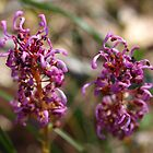 Serpentine Forest Plants Series - Grevillea quercifolia by kalaryder