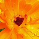 orange flower  by Andy Cork