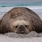 Flop! Bull Elephant Seal - Sea Lion Island West Falkland by Ayla Holdom