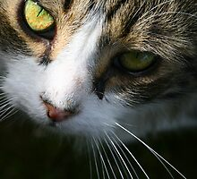 Close up of beautiful long haired tabby cat with green eyes by Joanne Emery