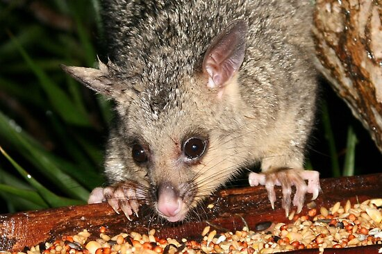 Baby Possum Pinching the Parrots Seed by aussiebushstick