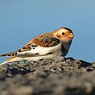 Snow Bunting on the Rocks by Bill McMullen