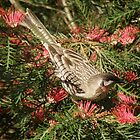 Red Wattlebird! by TracyD