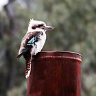 Kookaburra - on a tin by Deb Gibbons