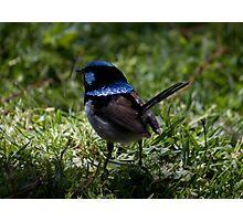 """Blue Wren Watching"" Photographic Print"