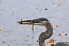 Young Heron & Fish by Lynda  McDonald