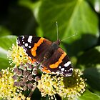 Tortiseshell butterfly feeding on ivy by DaleReynolds