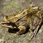 Common Frog - Rana Temporaria by Peter Elliott