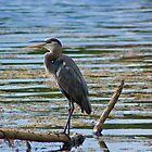 Blue Heron Perching... by William Guilmette