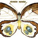 Elymnias Agondas (Palmfly Butterfly) by Carol Kroll