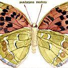 Pandoriana Pandor (Cardinal Butterfly) by Carol Kroll
