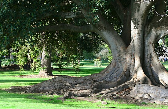 Ancient gum tree adelaide botanic gardens by joanne for Garden trees adelaide