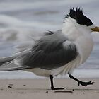 Greater Crested Tern on the beach at Antechamber Bay - Kangaroo Island, South Australia by Dan & Emma Monceaux
