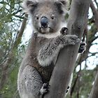 A young koala near Seal Bay - Kangaroo Island, South Australia by Dan & Emma Monceaux