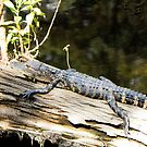 Young Alligator by Rosalie Scanlon